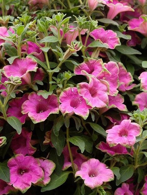 Supertunia Picasso In Pink Petunia